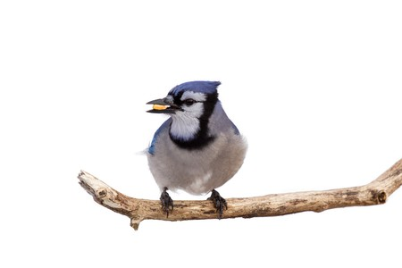 bluejay prepares for takeoff with a kernel of corn in its beak