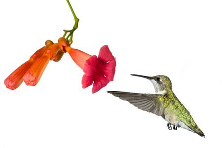 Hummingbird drijft in de bloem van een trompet wijn stok; witte achtergrond