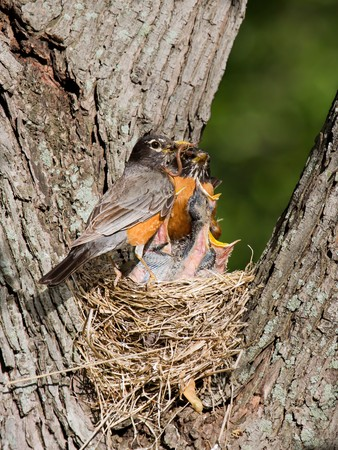 baby robins scream for food as father arrives with a meal of earthworms