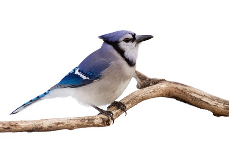 profile of a bluejay perched in branch; white background photo