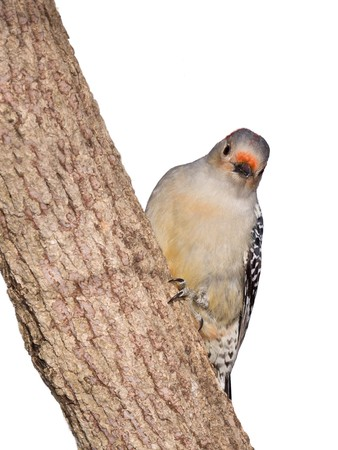 female red-bellied woodpecker peaks around the on trunk of a tree; white background   photo