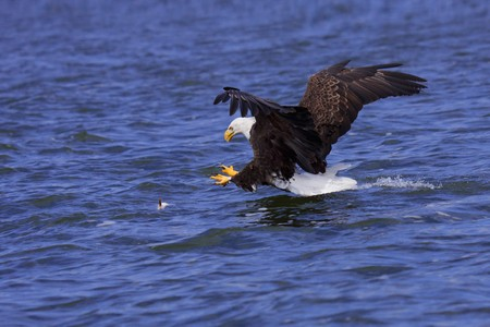 a spread winged bald eagle attacks a fish swimming in the open water photo