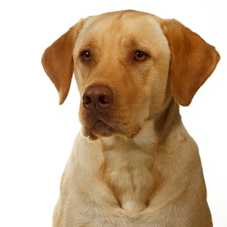 saliva: yellow labrador begins to secrete saliva in anticipation of dinner; dudley labrador; brown pink nose; yellow eyes