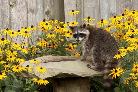 raccoon sips water from a sandstone bird bath. birdbath is surrounded by black eyed susans. raccoon