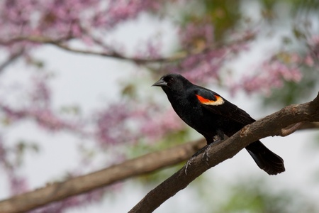winged: male red-wing blackbird perched on a branch; background consist of the soft springtime pastel pinks of redbud trees, green leaves, brown branchs and soft sky blues.