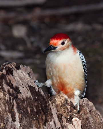 red-bellied woodpecker poses on a decaying tree stump while looking into the woodlands. The woodpecker has an inquisitive expression on its face; the background is the shallow focus forest floor. photo