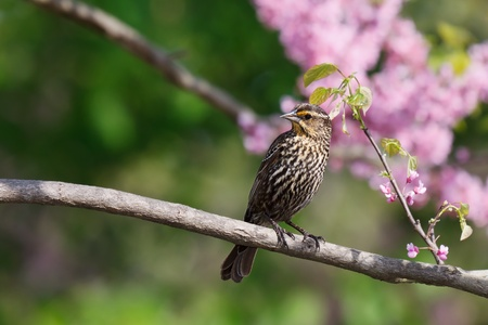 redbud tree: female red-wing blackbird looks to its side while perched on the branch of a redbud tree; shallow focus background colored with pastel pink flowers and green leaves of the redbud tree.