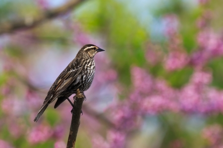 red-wing blackbird marvels at the wonderous springtime colors of the redbud trees. The pastel pinks, greens and blues  make a beautiful background for the unassuming female blackbird. Stock Photo - 11622638