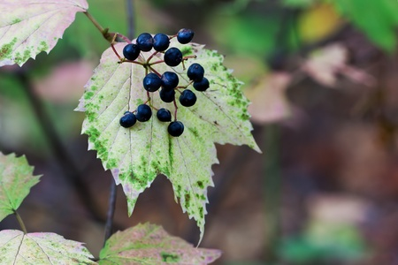 purples: with its blue berries prominently displayed, maple leaf viburnum changes to autumn colors, beautiful pinks, purples and greens. Background is the shallow focus forest leaves, vines, branches and trees.