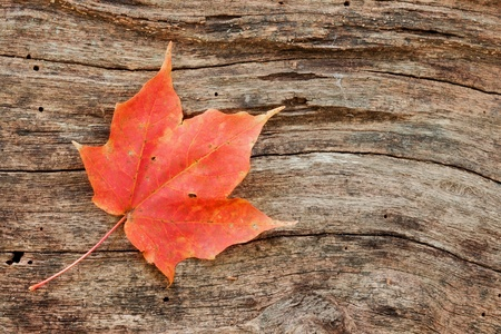 wood grain curves around a changing maple leaf. dead tree is the final resting place for a fallen red maple leaf