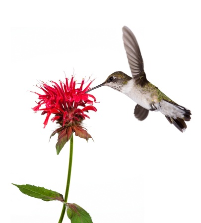 ruby throated hummingbird sips the nectar of a red bee balm flower; white background photo