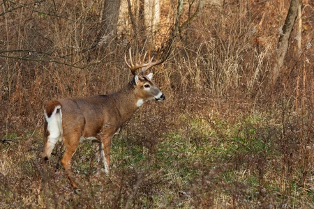 white tail: cervo avviso  buck si prepara a correre nella foresta. giorno di autunno freddo, gli alberi sterili, cespugli e foglie cadute fare uno sfondo naturale. Profilo di cervo mostra le sue corna massicce.