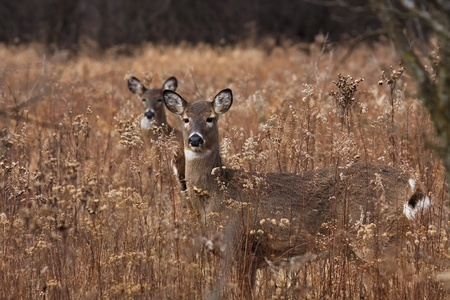 white tail deer: alert deerdoe poses in the middle of a prairie on a cool autumn day, barren trees and fallen leaves make a natural background. second doe in background hides behind first deer. Stock Photo