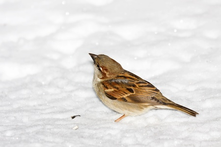 snow flowers: house sparrow sitting in fresh snow