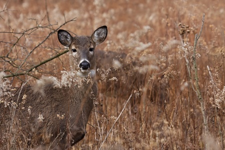deer hunter: alert deerdoe poses in the middle of a praire on a cool autumn day, barren trees and fallen leaves make a natural background. Stock Photo