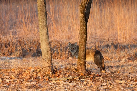 perceptive: as it walks the prairie, an attentive coyote finds a tree to hid behind tree at sunrise.  soft oranges of sunrise accent the prairie background. Stock Photo