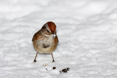 house sparrow standing in freshly fallen white powder snow. With snowflakes on its beak, it stares down meal of sunflower seeds in the snow.
