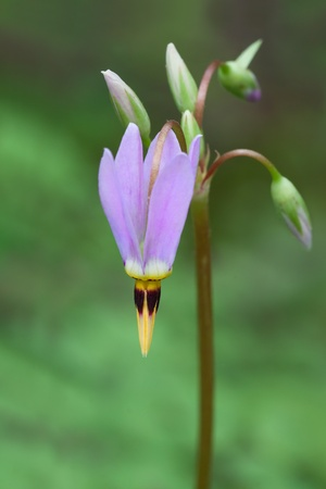 The first blossom of a shooting star dangles toward the ground  Its vivid colors light up the soft green hues of the forest floor Stock Photo - 13488608