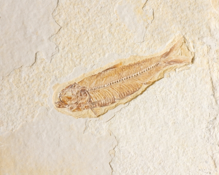 fossilized: fossilized skeleton of a fish set in sandstone