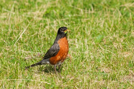 With its beak full of larva and worms, a bright orange breasted robin continues to hunt the grass for more food Stock Photo - 13773196
