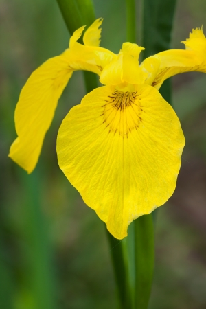 isolated irises: Portrait of a yellow flag iris in front of green reeds that form a vee shape  Background is soft greens and browns of the wetlands  Stock Photo