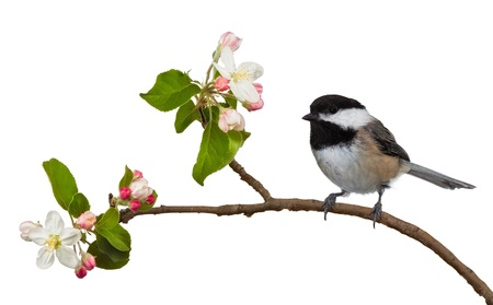 Among the flowering blossoms of an apple tree, a black capped chickadee perches itself  The black and white feathers contrast well with the colorful pink and white blossoms  On a white background  photo