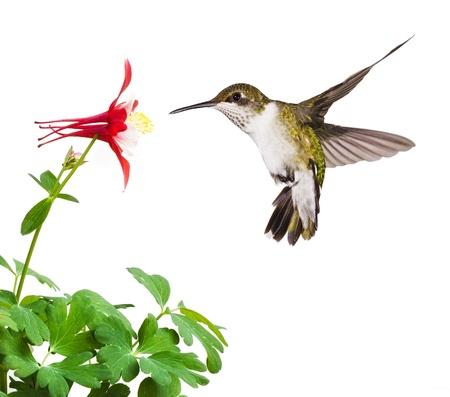 A svolazzante rubino throated Hummingbird con una coda aperta, immersioni in un luminoso fiore rosso columbine fiore su uno sfondo bianco Archivio Fotografico - 13968642