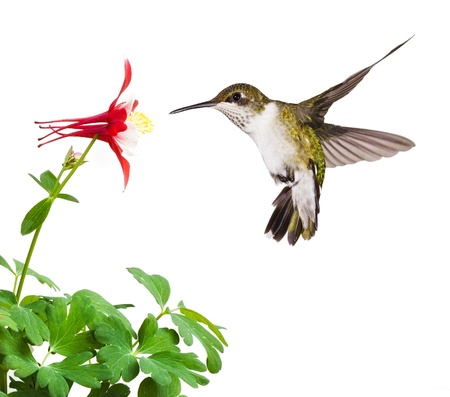 forrest: Een fladderende robijn throated kolibrie met een open staart, duikt in een heldere rode akelei bloemen bloeien op een witte achtergrond