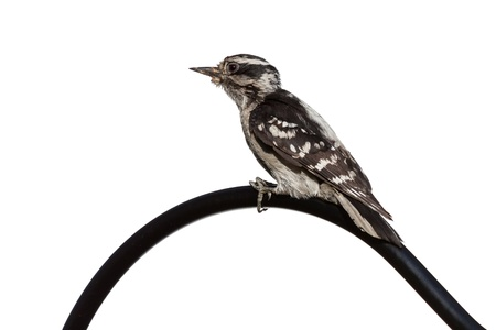 downy woodpecker: Downy woodpecker perches herself on top of a shepherd hook  Profile of black and white bird as she looks across the curve  Bird is on a white background