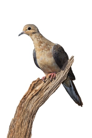 Profile of a mourning dove using its talons to grasp the end of a dried, broken branch, white background