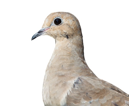 Isolated and closeup profile of mourning dove on a white background photo