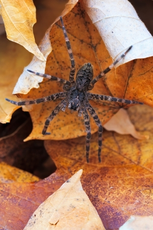unsuspecting: eight hairy legs at rest in a bed of autumn leaves, a wolf spider awaits unsuspecting prey.
