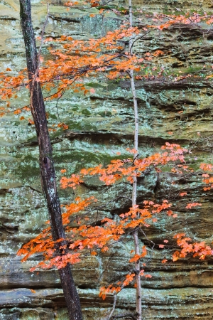 scarred: Moss and lichen mix their bluish green hues onto a scarred sandstone canyon wall. A maple tree reaches upward while changing to its autumn orange colors. Together, they provide a unique palette for autumn to display its artistry.