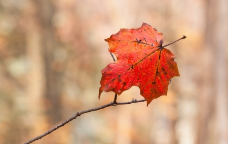 gasp: As the woodlands watch from afar, an impaled maple leaf slowly withers on a  branch. Delicately hanging, it changes into autumn colors in a last gasp attempt to be noticed among all others. Stock Photo