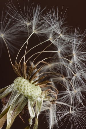 gust: the final fluffy seedlings of a dandelion prepare to be blow away in the next gust of wind  the flower, weathered and wilted, is still home for these remaining seeds