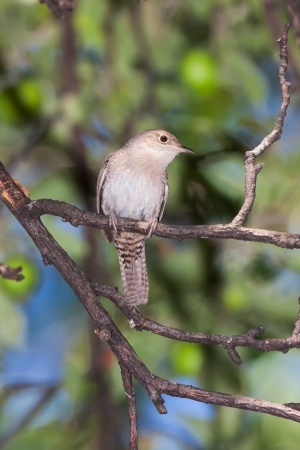 contemplates: A house wren, with its barred tail in full display, contemplates its day in an apple tree  The soft pastel colors, leaf greens and sky blues, provide serene background  Stock Photo