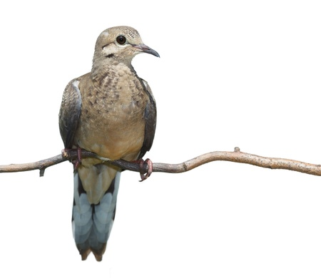 profile of upright mourning dove resting on a branch, breast forward, head and beak turned to the right, white background