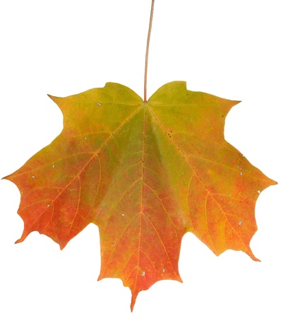 changing colors: An isolated maple leaf on a white background shows its changing colors, green, yellow, orange and red