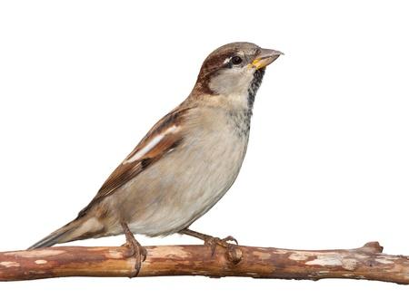 black beak: A sparrow stretches upward toward the sky  on a branch, white background