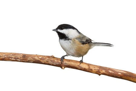 capped: Profile of a black capped chickadee sitting on a branch, white background