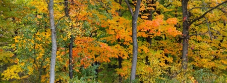 elm: Panoramic view of the changing colors of  an autumn forest  orange, yellow and greens of various maple and elm trees are prominent