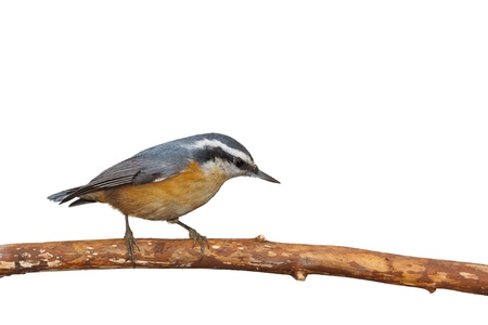 A red breasted nuthatch walks down  a branch  Its black mask and orange breast stand out against a white background Banco de Imagens
