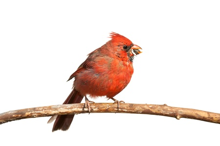 avian: A hungry cardinal eats a sunflower seed  The seed, partly chewed, falls from its beak, white background