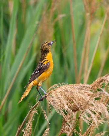 clutches: A baltimore oriole clutches an insect in its beak while hanging onto a blade of flowering swamp grass  Stock Photo