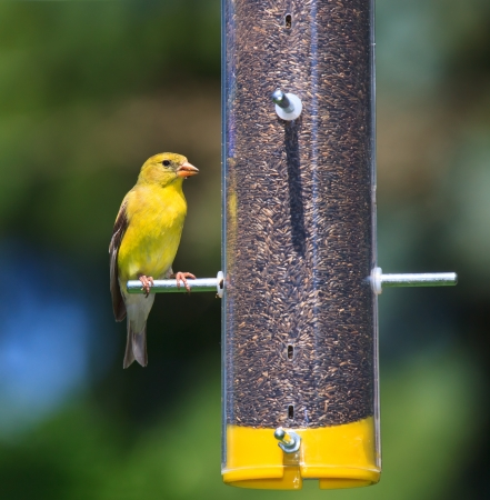 bird feeder: With its bold gold and yellow feather in full display a goldfinch munches on a thistle seed  The finch is perched on a transparent thistle tube feeder that is filled with brown seeds  Background consists of soft sky blues and tree greens  Stock Photo