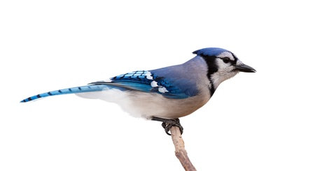 blue jay bird: A profile of a bluejay perched on a branch  The bird feathers transition from light to dark blue, from tail to beak, through its slender body  White background  Stock Photo