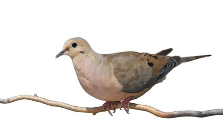 begins: A mourning dove begins to rise off a branch  Full profile of bird, blue green skin around birds eye contrast against its tan and gray feathers  On a white background