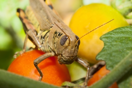 antennae: Antennae up and in full body armor, a grasshopper feasts on a tasty red cherry tomato  Stock Photo