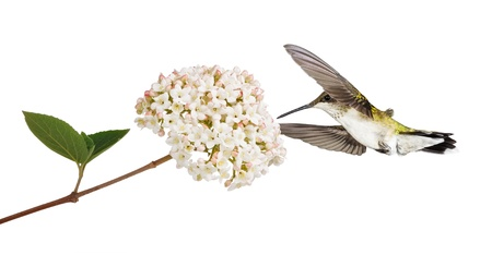 ruby throated: A ruby throated hummingbird floats into a fully bloomed pink and white viburnum  White background
