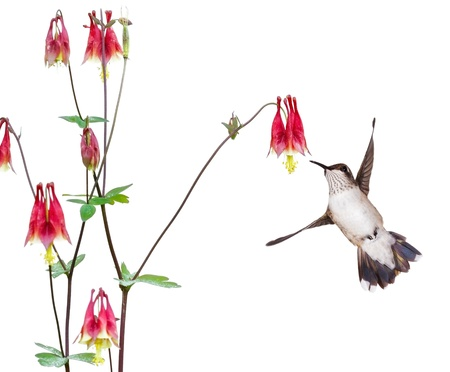 focuses: A hummingbird focuses in on the sweet nectar of a ruby red columbine flower  The delicate bird